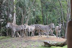 Animal Kingdom – Kilimanjaro Safari|i.seeKissimmee Blog