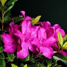 "ReBLOOM Azalea Family  Traditional azaleas look beautiful for only a few weeks out of the year, but newer shrubs like this series flower in the spring and then again in the summer and autumn! It is available in several colors of red, purple, pink, coral, and white, including ""Purple Spectacular"" shown here.  Name: ReBLOOM Rhododendron   Growing Conditions: Full sun or part shade and moist, acidic, well-drained soil  Size: To 2 feet tall and 3 feet wide  Zones: 6-9  Source: gardendebut.com"