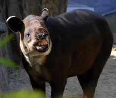 tapir-links