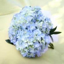 Hydrangea,light blue