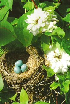 A beautiful find in my garden - a nest with robin's eggs! I love finding colors like this in nature and then incorporating their hues in our home. Long after the beautiful birds hatched & left this nest, I brought it inside in our dining room.  Photo (C) Nancy E. Hill