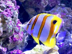 "Beaked coralfish (also known as butterflyfish) are easily identified by their long noses, bright yellow hue, and dark ""eye"" on their dorsal fins."