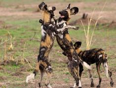 African wild dogs are one of Africa's most endangered species with less than left. Here are 10 things you didn't know about African wild dogs. African Hunting Dog, African Wild Dog, Hunting Dogs, Beautiful Creatures, Animals Beautiful, Animals And Pets, Cute Animals, Nocturnal Animals, Wild Dogs