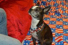 LOUEY is an adoptable Boston Terrier Dog in Boston, MA. Louey Neutered Male 9 years old 15 lbs Boston Terrier A279642 Hey! I'm Louey. I'm a wonderful 9 year old Boston Terrier on the market for a new ...