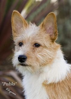Portuguese Podengo Medio | Portuguese Podengo Breeders, Dog Breed Info Center®, Portuguese