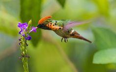 https://flic.kr/p/qtbdiD | Tufted Coquette Hummingbird in flight feeding on Porterweed, Asa Wright Nature Center, Trinidad.