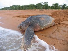 Shell beach - turtle nesting - Guyana  http://www.panoramio.com/photo/36587690