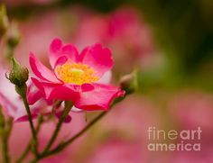 Summer Delight a beautiful rose by Nick Boren