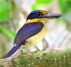 Rufous Kingfisher (Adult Female)