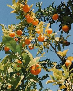 citrus trees are so naturally inspiring aesthetic orange Orange Aesthetic, Nature Aesthetic, Summer Aesthetic, Aesthetic Vintage, Aesthetic Plants, Aesthetic Coffee, Aesthetic Pastel, Film Aesthetic, Aesthetic Collage