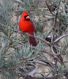 Northern Cardinal  ♥ ♥ www.paintingyouwithwords.com Winter