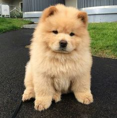 chow chow - Dogs and Puppies - Puppies Cute Animals Puppies, Cute Dogs And Puppies, Cute Funny Animals, Cute Baby Animals, Doggies, Puppies Puppies, Cutest Dogs, Perros Chow Chow, Chow Chow Dogs
