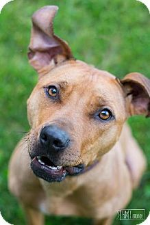 Perry Hall, MD - Pit Bull Terrier Mix. Meet Winnie, a dog for adoption. http://www.adoptapet.com/pet/10329303-perry-hall-maryland-pit-bull-terrier-mix