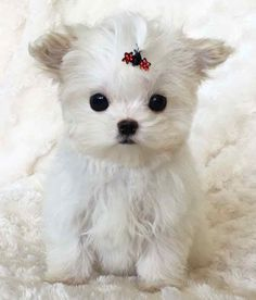 Maltipoo is a designer dog breed made by crossing Maltese with Toy Poodles. Maltipoo is one of the cutest designer dog breeds. Maltipoo Breeders, Maltese Dog Breed, Maltese Poodle, Maltese Puppies, Designer Dogs Breeds, Dog Photography, Dog Design, Dog Owners, Animals