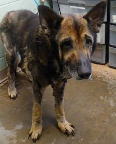 Petango.com - Meet Delbert, 9y German Shepherd / Mix available for adoption in DECATUR, GA