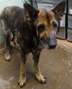 Petango.com - Meet Delbert, 9y German Shepherd / Mix available for adoption in DECATUR, GA