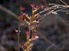 Poison Ivy Barnegat Bay, Poison Ivy, Dandelion, Flowers, Plants, Poison Oak Plant, Dandelions, Plant, Taraxacum Officinale