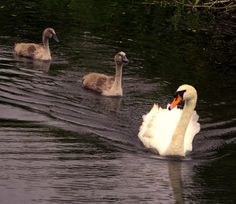 swan and signets photograph bird photography nature by Suzannasi