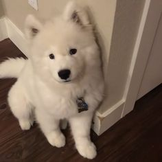 """40k Likes, 462 Comments - Dogs Of Instagram (@lnsta_dogs) on Instagram: """"Sound on  - """"Ro rao ro~ I like to argue when I am asked to do something. """" #samoyed"""""""