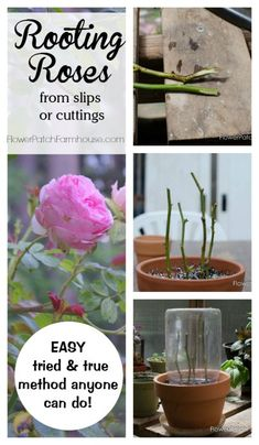 to root roses from cuttings or slips. A tried and true method that rea. Learn how to root roses from cuttings or slips. A tried and true method that rea. Learn how to root roses from cuttings or slips. A tried and true method that rea. Growing Flowers, Growing Plants, Planting Flowers, Flower Gardening, Planting Plants, Flowers Perennials, Gardening For Beginners, Gardening Tips, Gardening Services