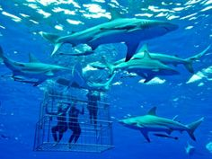 Image result for diving cage Shark Diving, Sharks, Shark Cage, Creator Studio, Great White Shark, Snorkeling, Whale, Fish, Animals