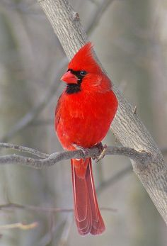 Male #Cardinal  #totemanimal #red #bird pinned with #Bazaart - www.bazaart.me