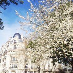 White blossoms Paris