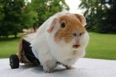 This handicapable little fluff of joy. | The 24 Most Important Guinea Pigs In The Entire World