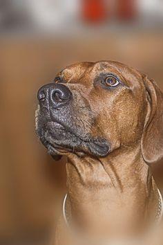 my dog by Vasiliy Igumnov Bloodhound Dogs, Rhodesian Ridgeback, Boxer Dogs, Doggies, Most Beautiful Dogs, Dog Best Friend, Lion Dog, German Dogs, Animaux