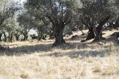 The mood : Alentejo in August, Portugal ,  #alentejo #countryside #dp2q #olivetree #PORTUGAL #quattro #rocks #sigma