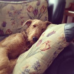 Airedale ...