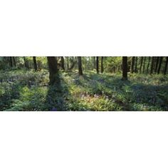 Bluebells growing in a forest Exe Valley Devon England Canvas Art - Panoramic Images (36 x 12)