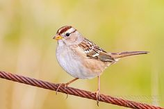 A juvenile White-crowned Sparrow poses at the Ridgefield NWR, Nov. 2, 2012.