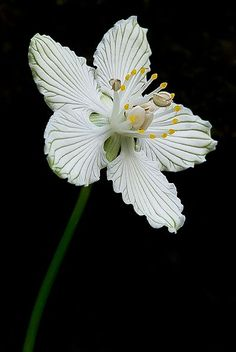 Grass-of-Parnassus by Scott. The exquisite petals look like delicately carved china. Grass-of-Parnassus by Scott. The exquisite petals look like delicately carved china. Unusual Flowers, Unusual Plants, Rare Flowers, Amazing Flowers, Pretty Flowers, White Flowers, Lilies Flowers, Illustration Blume, Flower Pictures