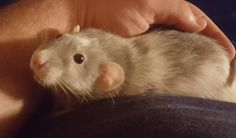 My Paula is the cuddliest rat I know. Whenever she comes out for playtime she goes straight for my hand snuggles up and starts bruxing. #aww #cute #rat #cuterats #ratsofpinterest #cuddle #fluffy #animals #pets #bestfriend #ittssofluffy #boopthesnoot