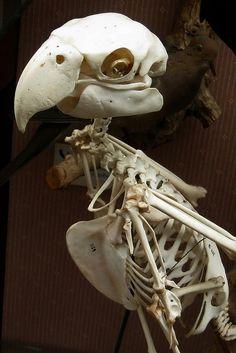 Skulls and Bones Skeleton Anatomy, Skeleton Bones, Skull And Bones, Animal Skeletons, Animal Skulls, Bird Skull, Skull Art, Bird Bones, Skull Reference