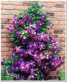 clematis | Another favorite vine that you will often find climbing arbors and mailbox posts is Clematis. Clematis varieties can bloom either in the fall or spring and evergreen varieties are also available. They produce a flush of flowers anywhere from 4 to 6 inches in diameter and come in a huge range of color choices. These are easily grown in zones 3-9.