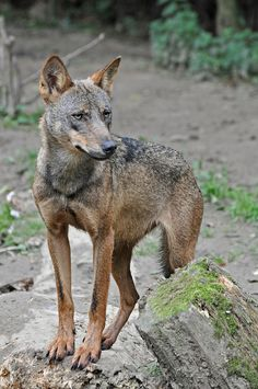 ☀Iberian Wolf by Truus & Zoo on Flickr*