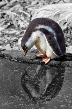 Penguins of Antarctica *** Read more at the image link. Penguin Bird, Penguin Love, Gentoo Penguin, Penguin Craft, All About Penguins, Cute Penguins, Beautiful Birds, Animals Beautiful, Cute Animals