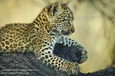 Al zulke klauwen op zo'n jonge leeftijd. Met luipaarden valt niet te spotten!