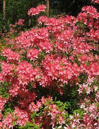 Revontuliatsalea Rosy Lights - Viherpeukalot