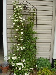 "White Clematis ""Guernsey Cream"" growing up decorative black trellis...may plant to cover electric box"