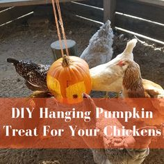 Today I wanted to share a DIY hanging pumpkin treat that you can make for your chickens. My chickens love pumpkins! Raising Backyard Chickens, Backyard Chicken Coops, Baby Chickens, Silkie Chickens, Chicken Water Feeder, Chicken Feeders, Chicken Eating, Chicken Runs, Wild Chicken