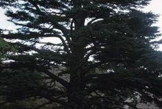 Cedar of Lebanon seeds germinate reliably.
