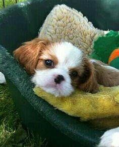 Sweet Blenheim Cavalier puppy