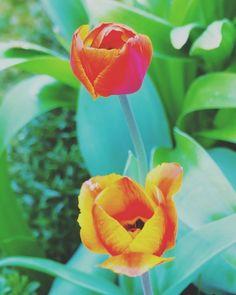 Wir brauchen Farben  #Garten #Gartenliebe #tulpen #tulpe #tulpenliebe #tulips #tulip #blackandwhitephotography #tulpenzeit #tulipa #bloom #blooms #Gartenglück #Gartenzeit #Gartenträume #Gärten #Blume #Blumen #Blumenliebe #Blumenfotografie #blumenzauber #nature  #naturelover  #naturephotography  #flowers #flower #naturesbeauty  #naturelove  #PictureoftheDay  #photooftheday