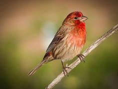 BIRD OF THE WEEK -- AMERICAN BIRD CONSERVANCY -- BLOND-CRESTED WOODPECKER -- PLANET EARTH BIRD WORLD group