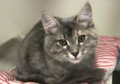 Missy 133904 is an adoptable Torbie Cat in Longview, WA. For more information on this kitty, contact Stephanie at Kitty Korner, 360-578-9691. Donate or Sponsor A Dog or Cat Today. Use PayPal, It's Fas...