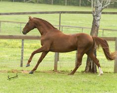 The Danish Warmblood was founded on Frederiksborg stock, crossed with the Thoroughbred. The resultant local mares were bred to Anglo-Norman stallions, Thoroughbreds, and Trakehners. The mix was adjusted to produce a sound horse of excellent conformation, relatively fixed in type, and with scope and galloping ability. Img: Beautiful Danish warmblood.