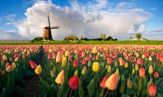 Holland ....beautiful tulip fields and old operational windmills with thatch roofs.